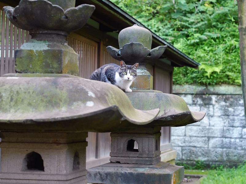 石灯籠傘とキジ白猫の視線2