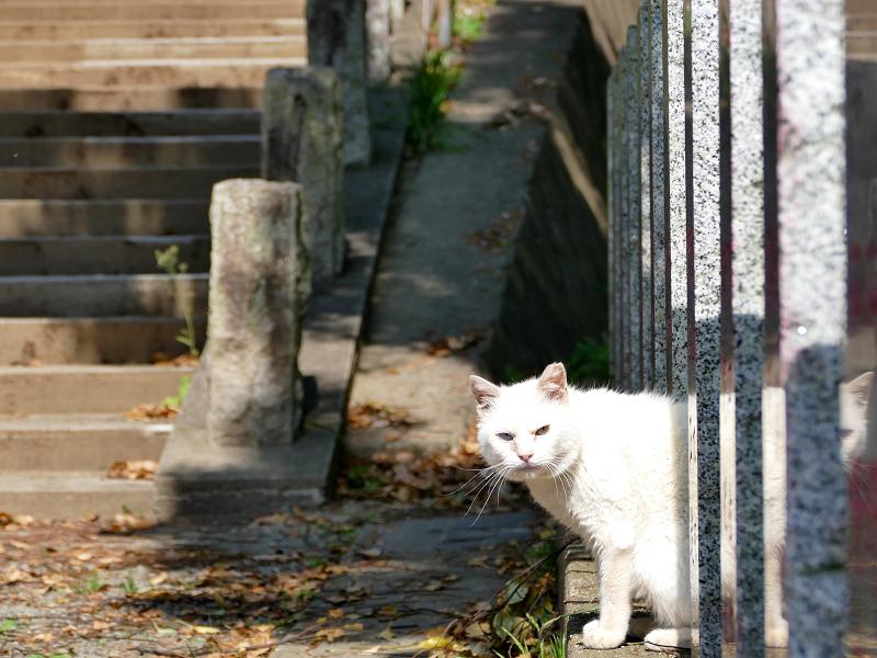 玉垣から顔を出した白猫2