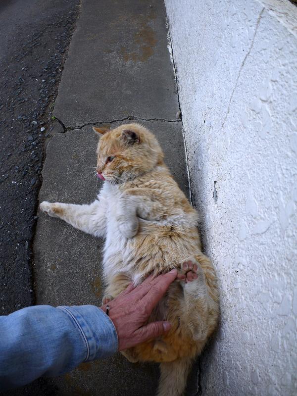 仰向けで腰トントン茶白猫3