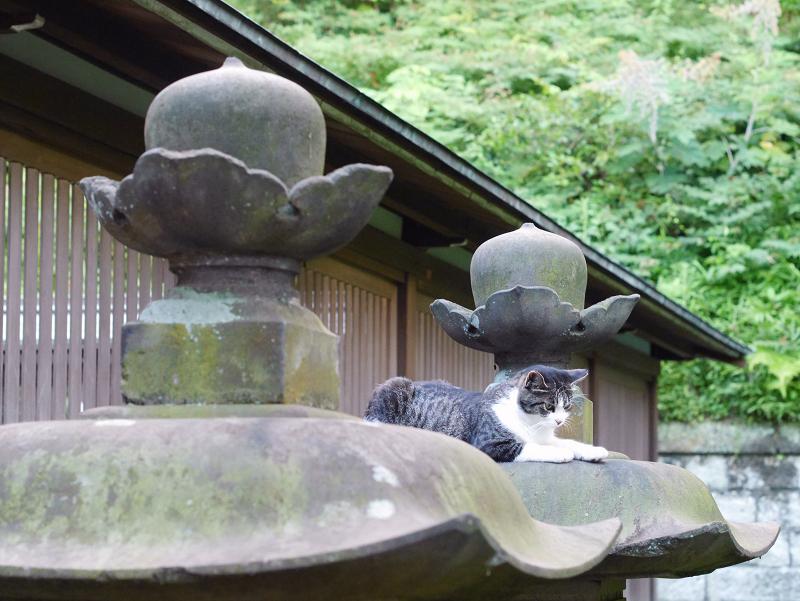 石灯籠傘とキジ白猫の視線3