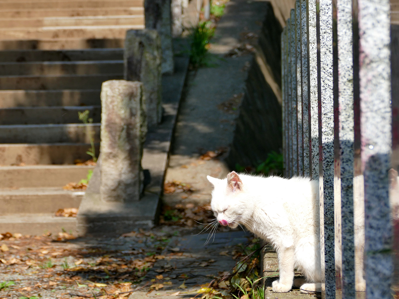 玉垣から顔を出した白猫3