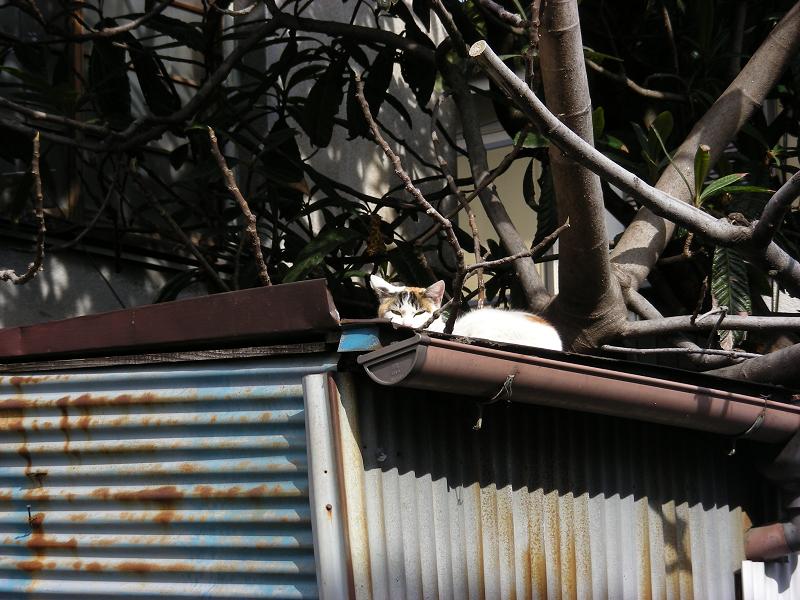 トタン物置と三毛猫1