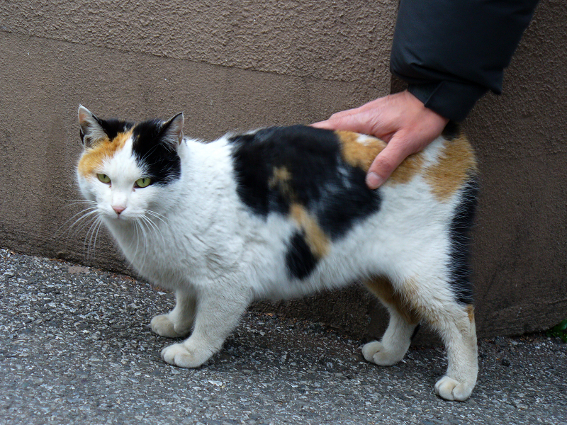 玄関先の三毛猫2