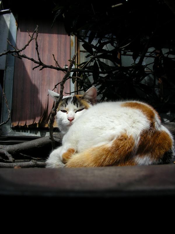 トタン物置と三毛猫3