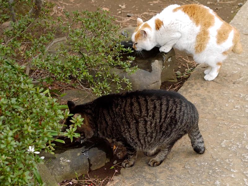 蹲で水を飲む猫たち1