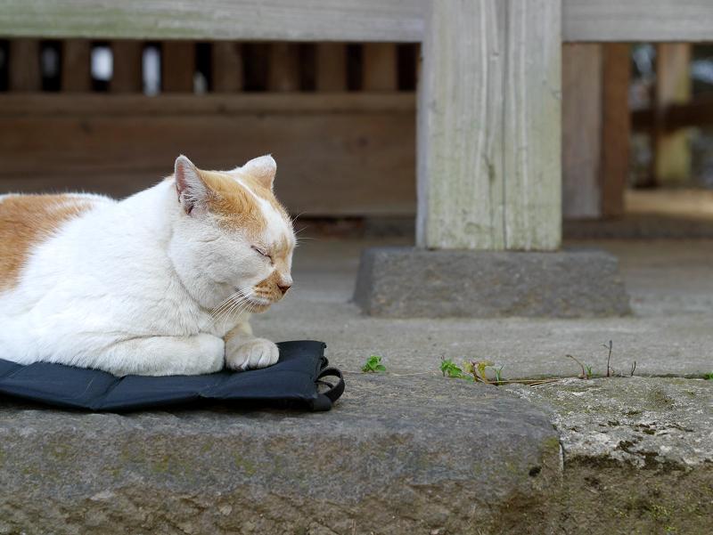 クッションシートに乗ってる茶白猫1
