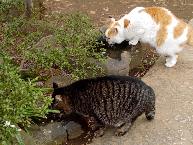 蹲で水を飲む猫たち2