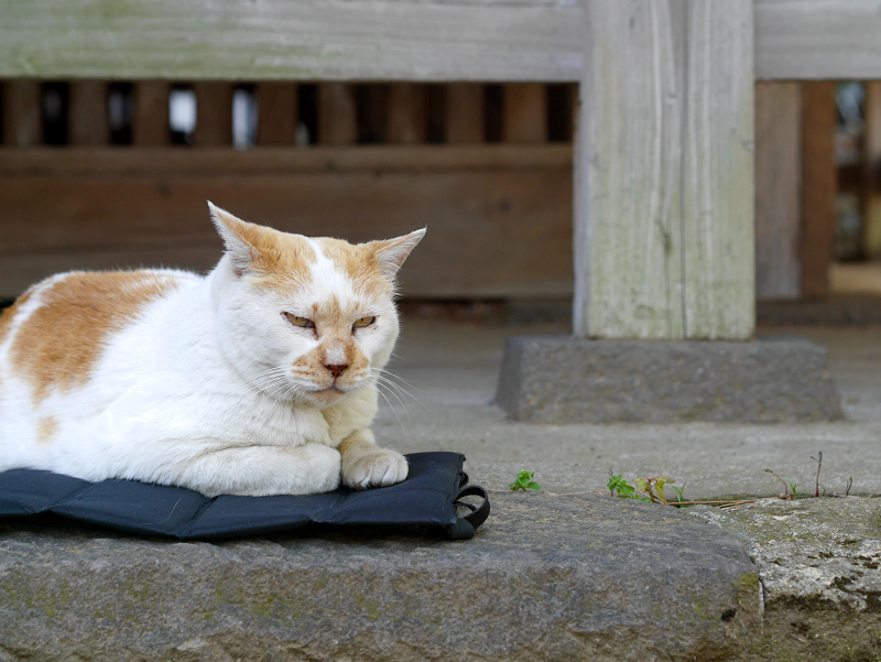 クッションシートに乗ってる茶白猫2