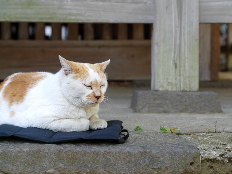 クッションシートに乗ってる茶白猫3