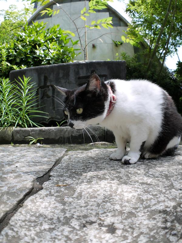 石畳参道の白黒猫1