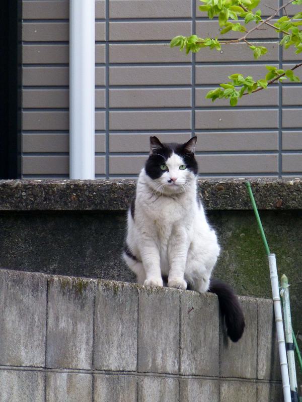 民家ブロック塀の白黒猫