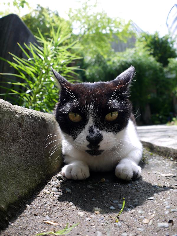 石畳参道の白黒猫2