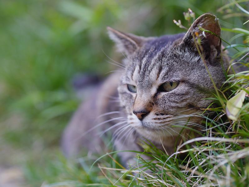 斜面草むらのキジトラ猫1