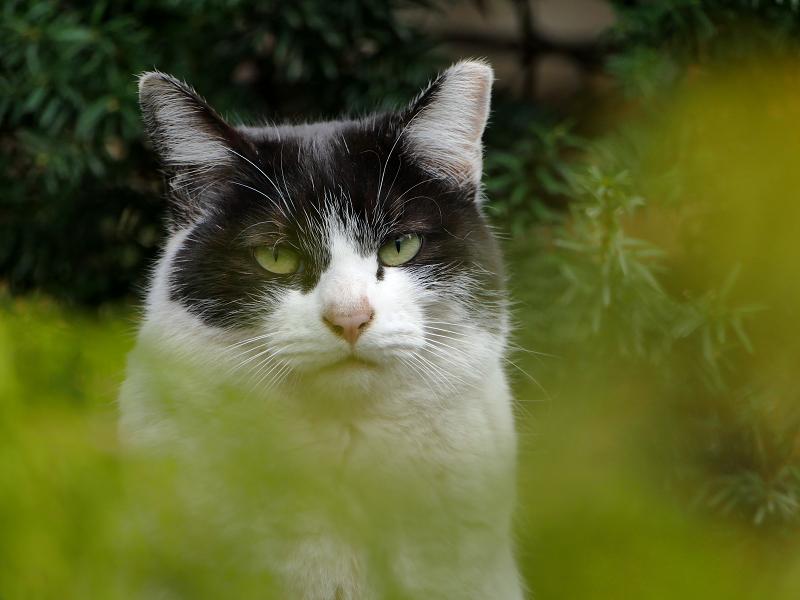葉っぱの向こうでアクビする黒白猫1