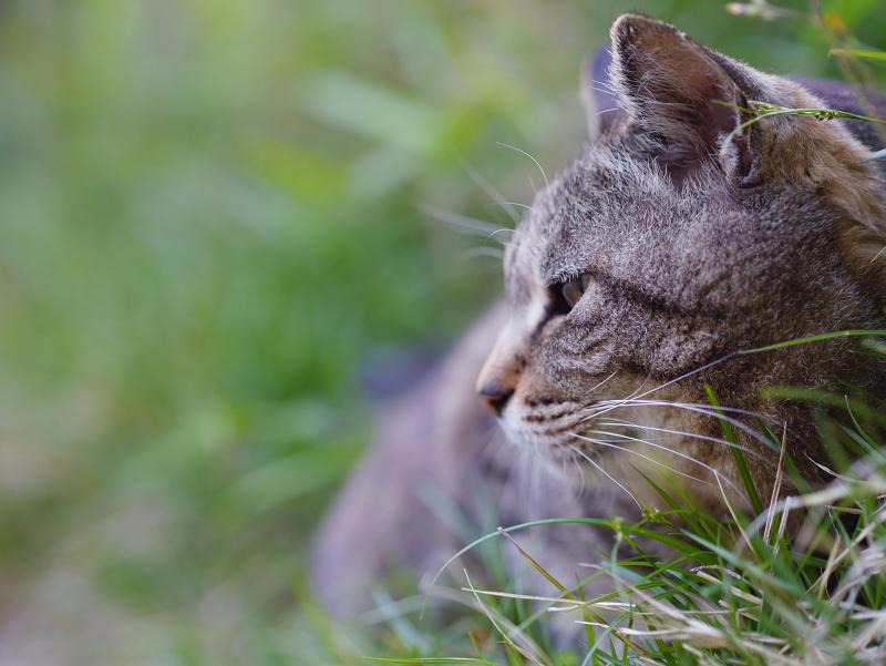 斜面草むらのキジトラ猫2