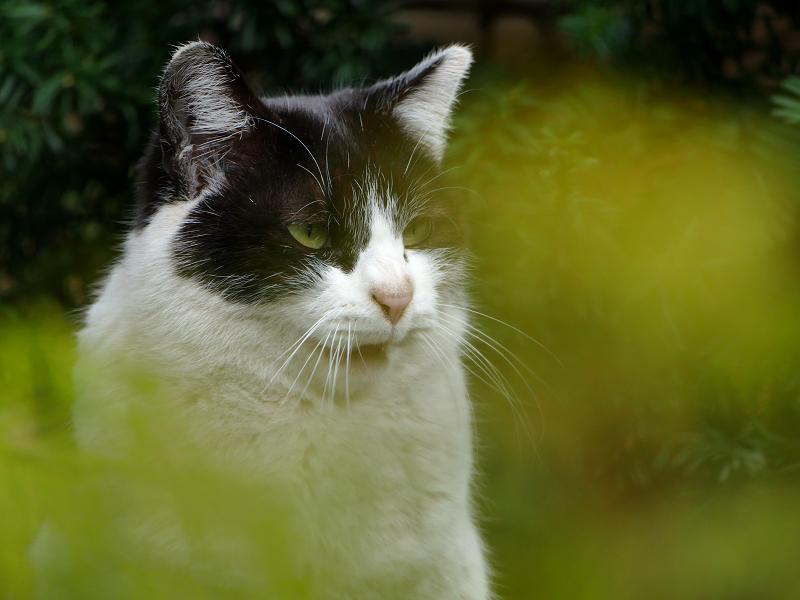 葉っぱの向こうでアクビする黒白猫2