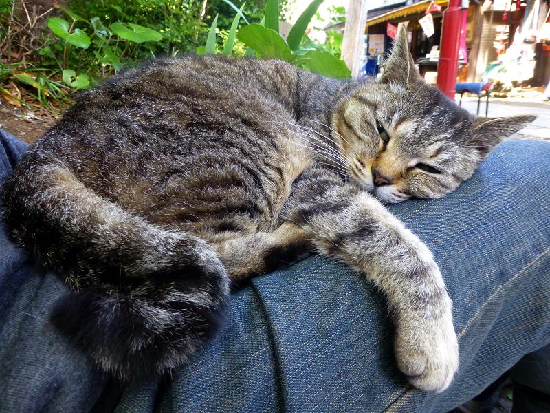 膝で脱力寝のキジトラ猫2