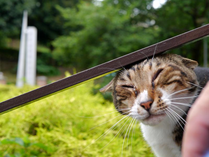 鎹とアメショー風猫3