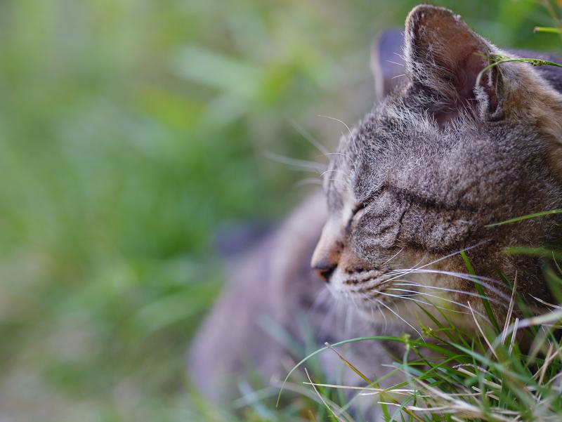 斜面草むらのキジトラ猫3