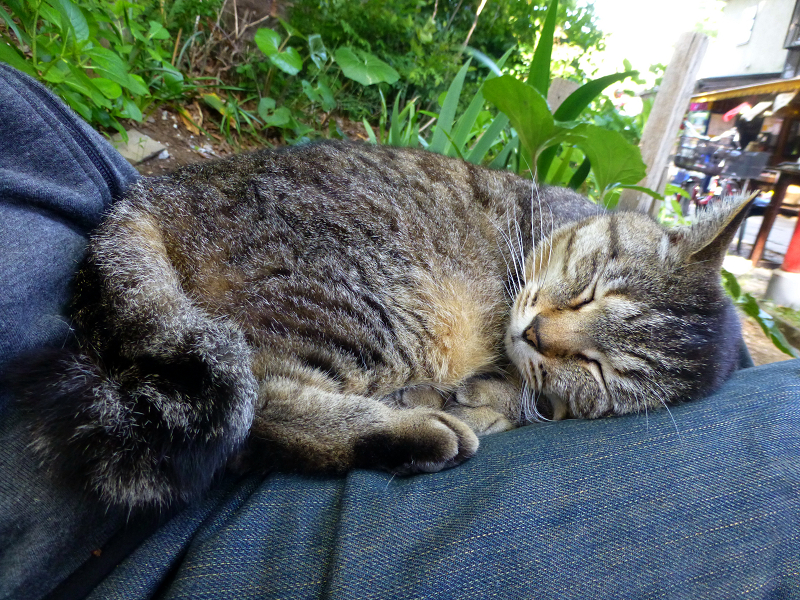 膝で脱力寝のキジトラ猫3