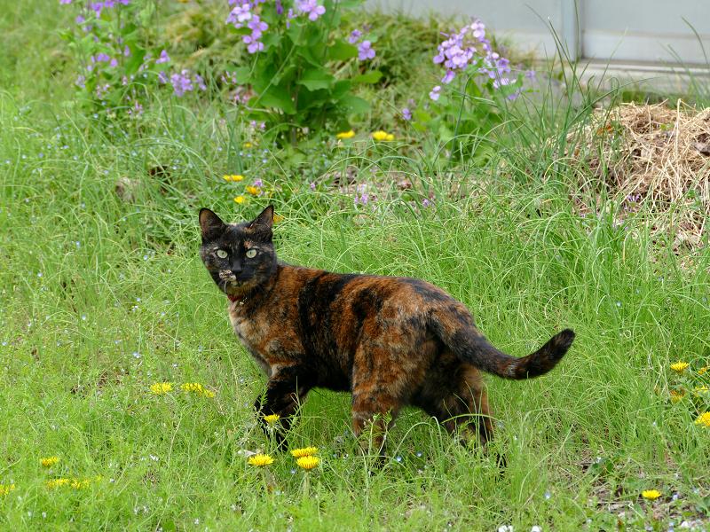 草むらの奥へ動いたサビ柄猫1