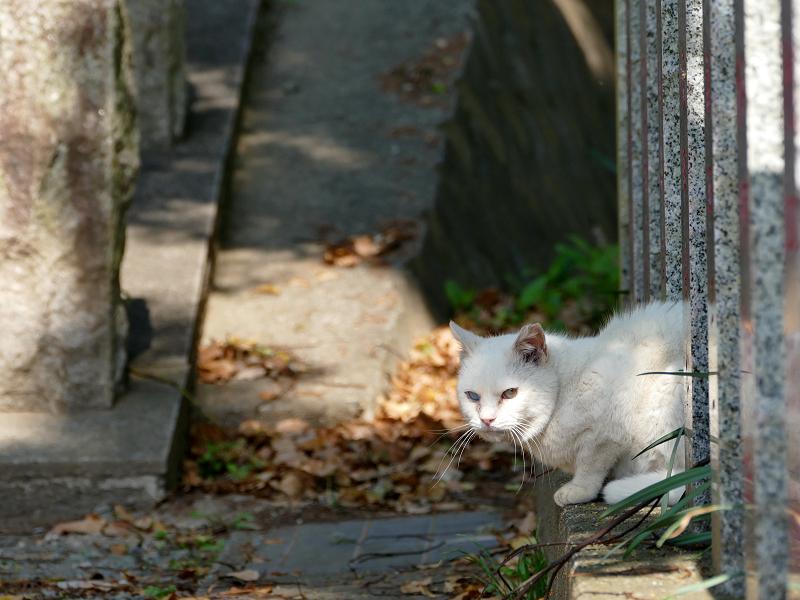 玉垣石垣から半身を出してる白猫1