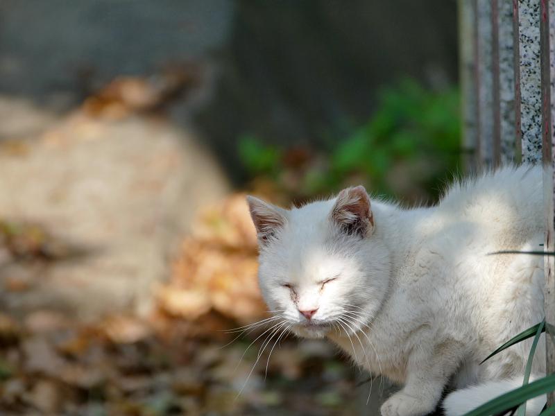 玉垣石垣から半身を出してる白猫2