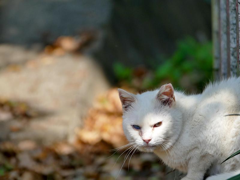 玉垣石垣から半身を出してる白猫3