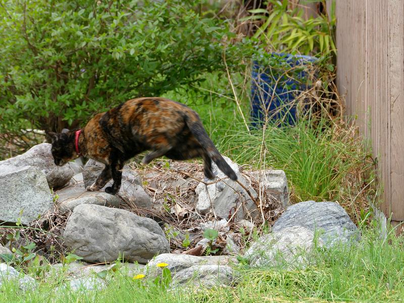 草むらの奥へ動いたサビ柄猫4