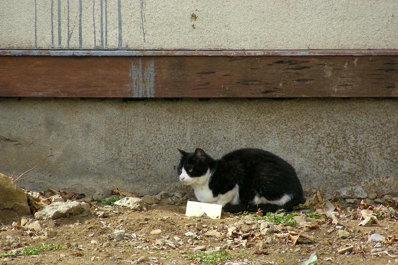空地の黒白猫1