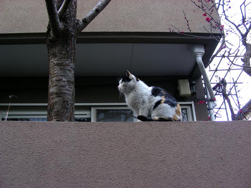 民家塀の三毛猫1