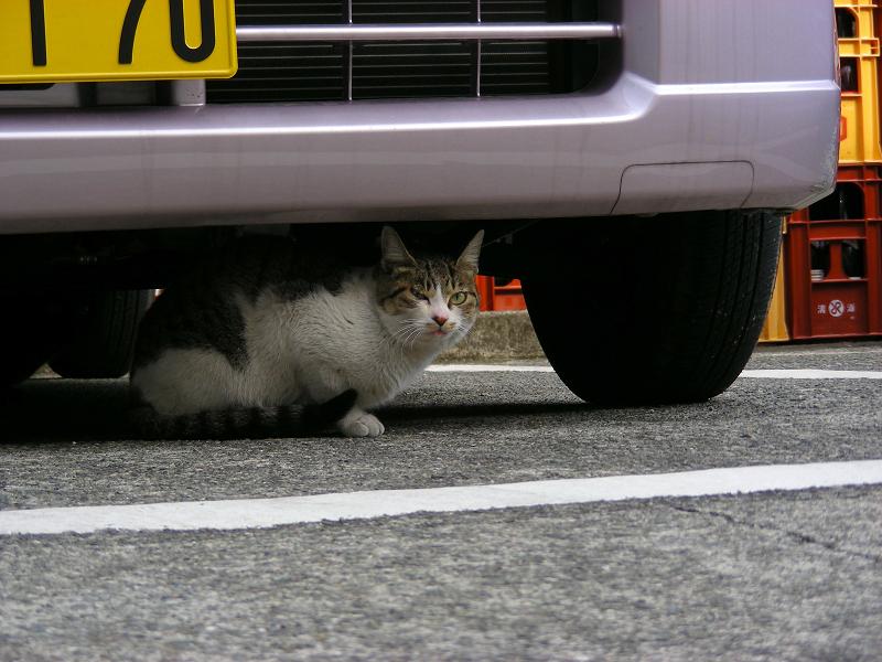 コンビニ駐車場で車の下のキジ白猫1