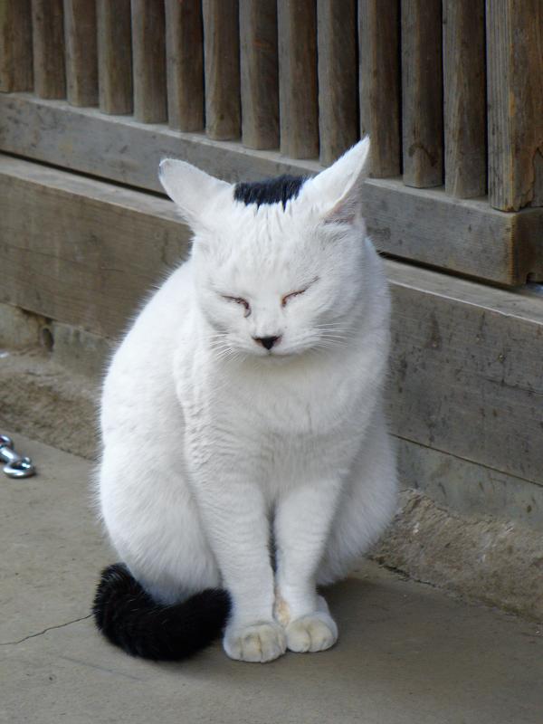 耳水平のモヒカン白黒猫