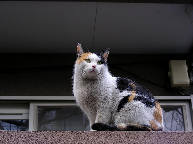 民家塀の三毛猫2