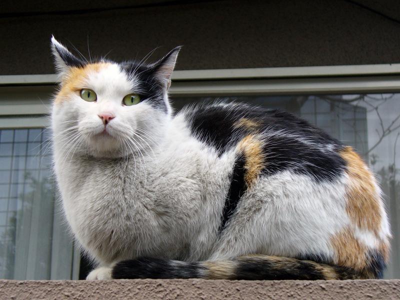 民家塀の三毛猫3