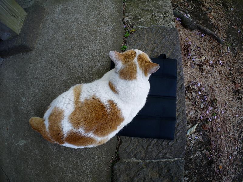 クッションシートと茶白猫1