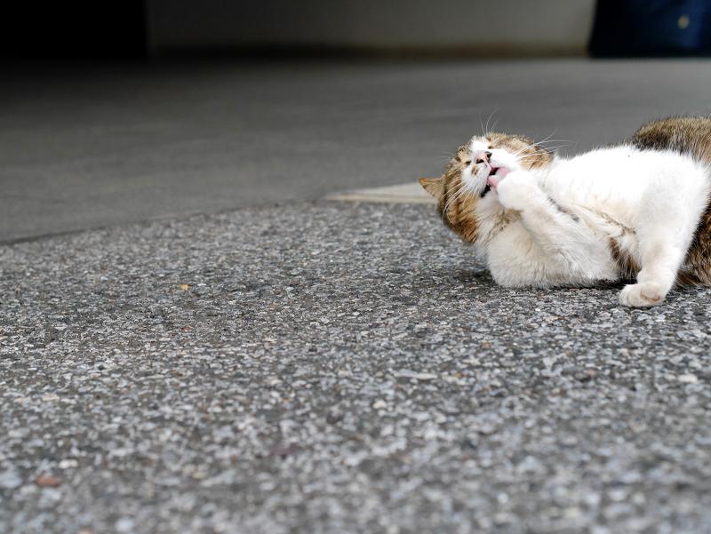 境内で手を噛むキジ白猫1