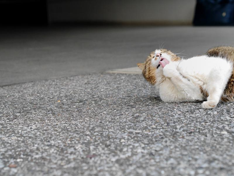 境内で手を噛むキジ白猫2