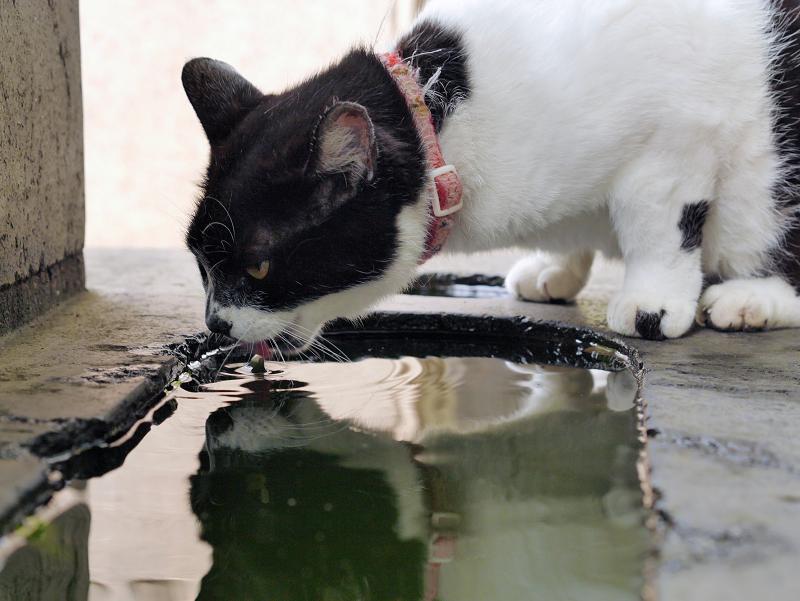 石碑で水を飲む白黒猫1