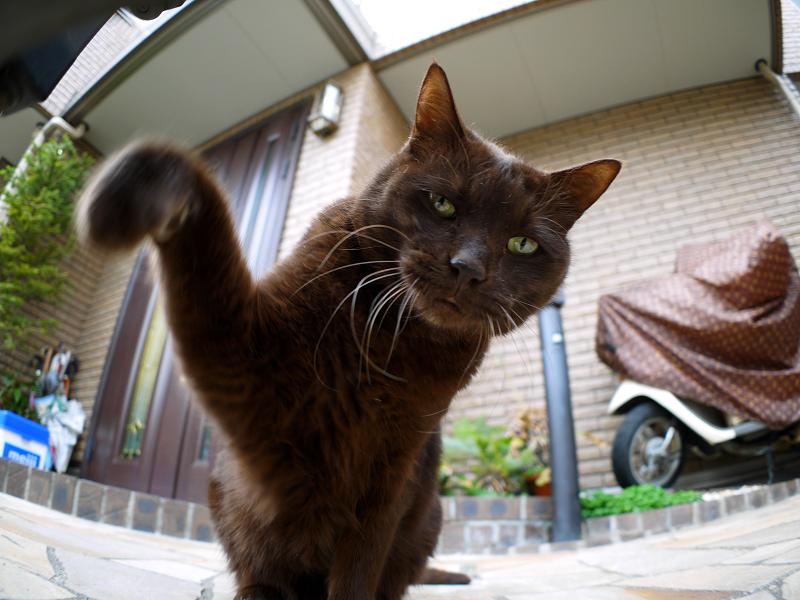 焦げ茶猫の猫パンチ2