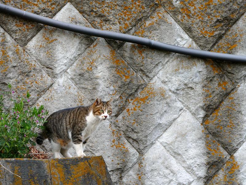 石組みの上から出てきた猫3