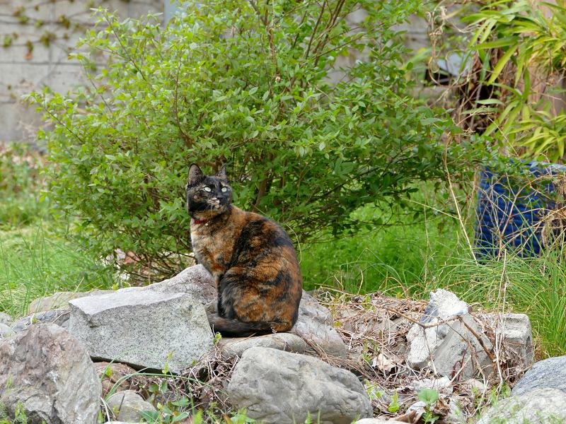 草むら岩上のサビ柄猫1