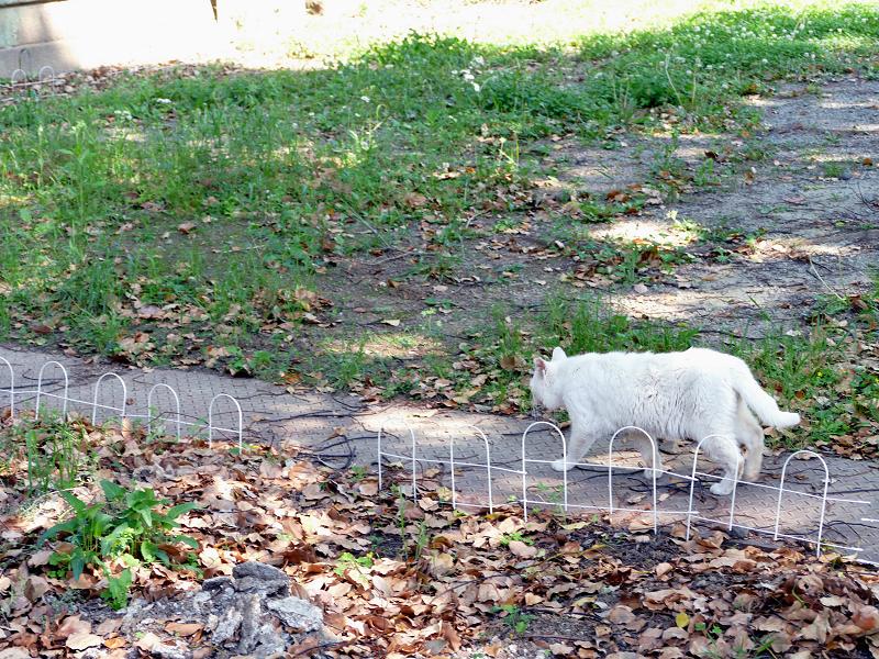 歩き去る白猫の後ろ姿1