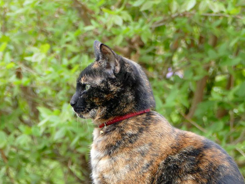 草むら岩上のサビ柄猫2