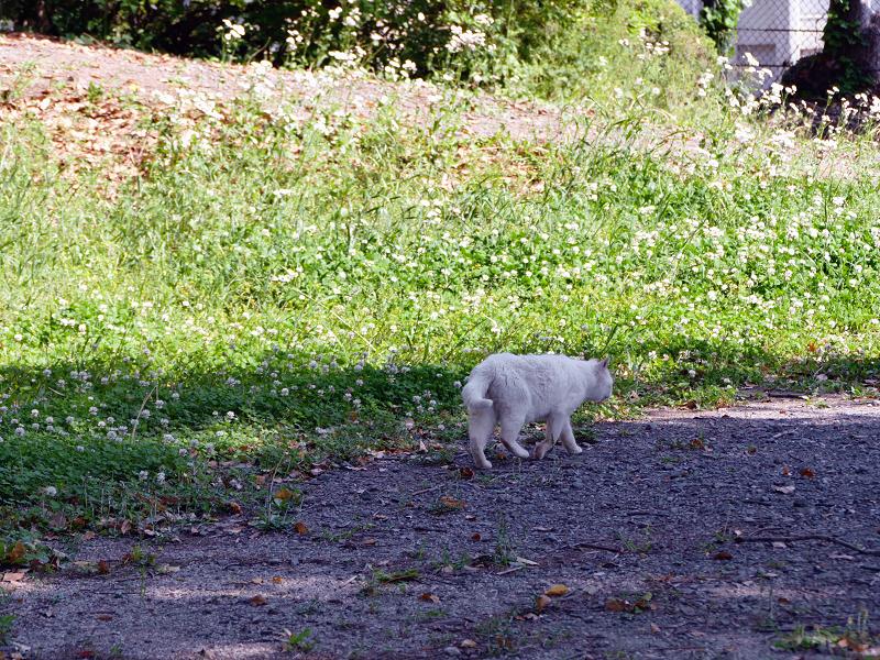 歩き去る白猫の後ろ姿2