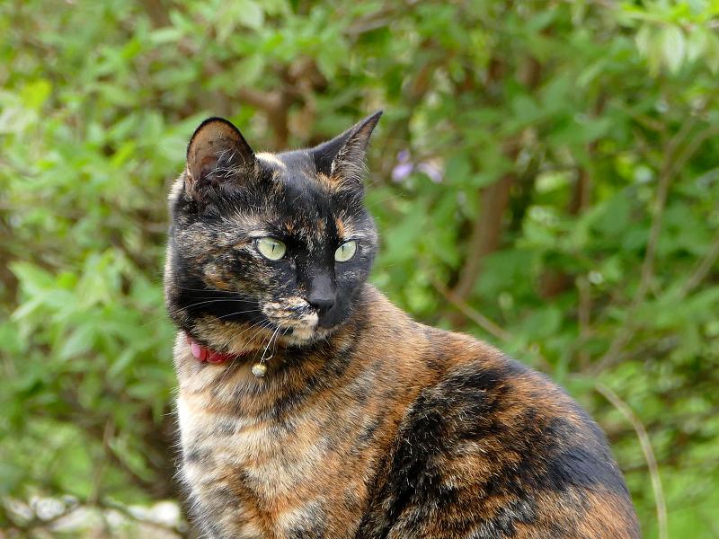 草むら岩上のサビ柄猫3