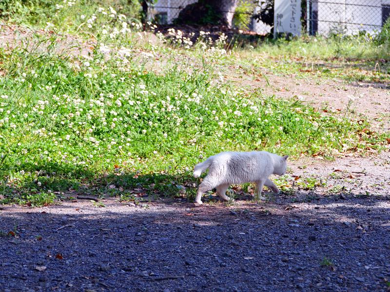 歩き去る白猫の後ろ姿3