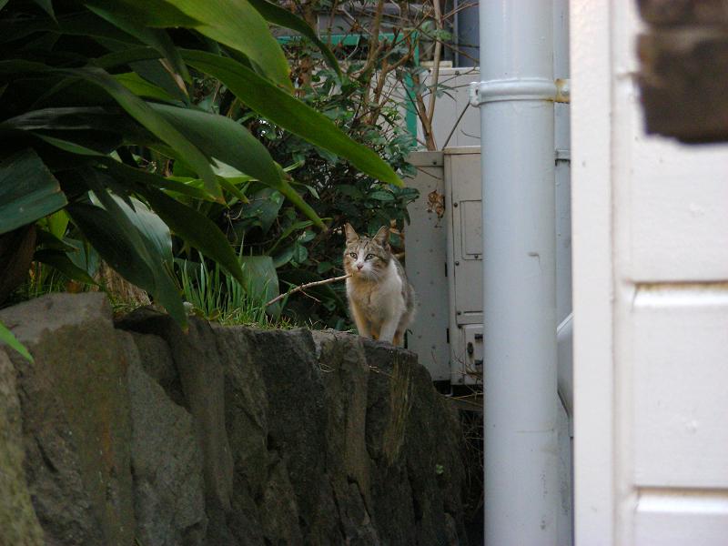 出会ってしまったキジ白猫1