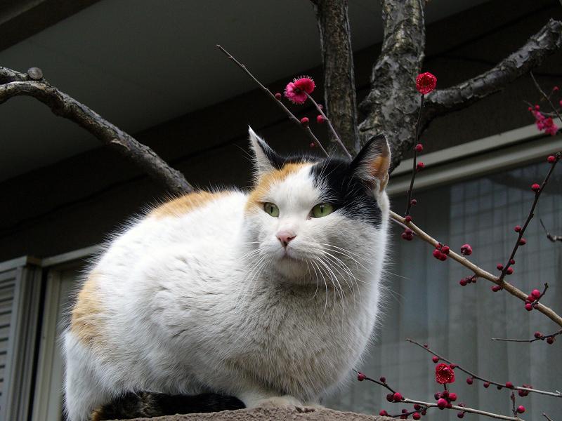紅梅と三毛猫1