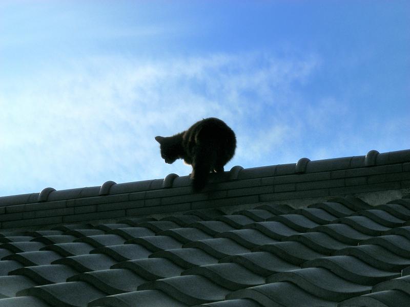 屋根瓦の猫たち2